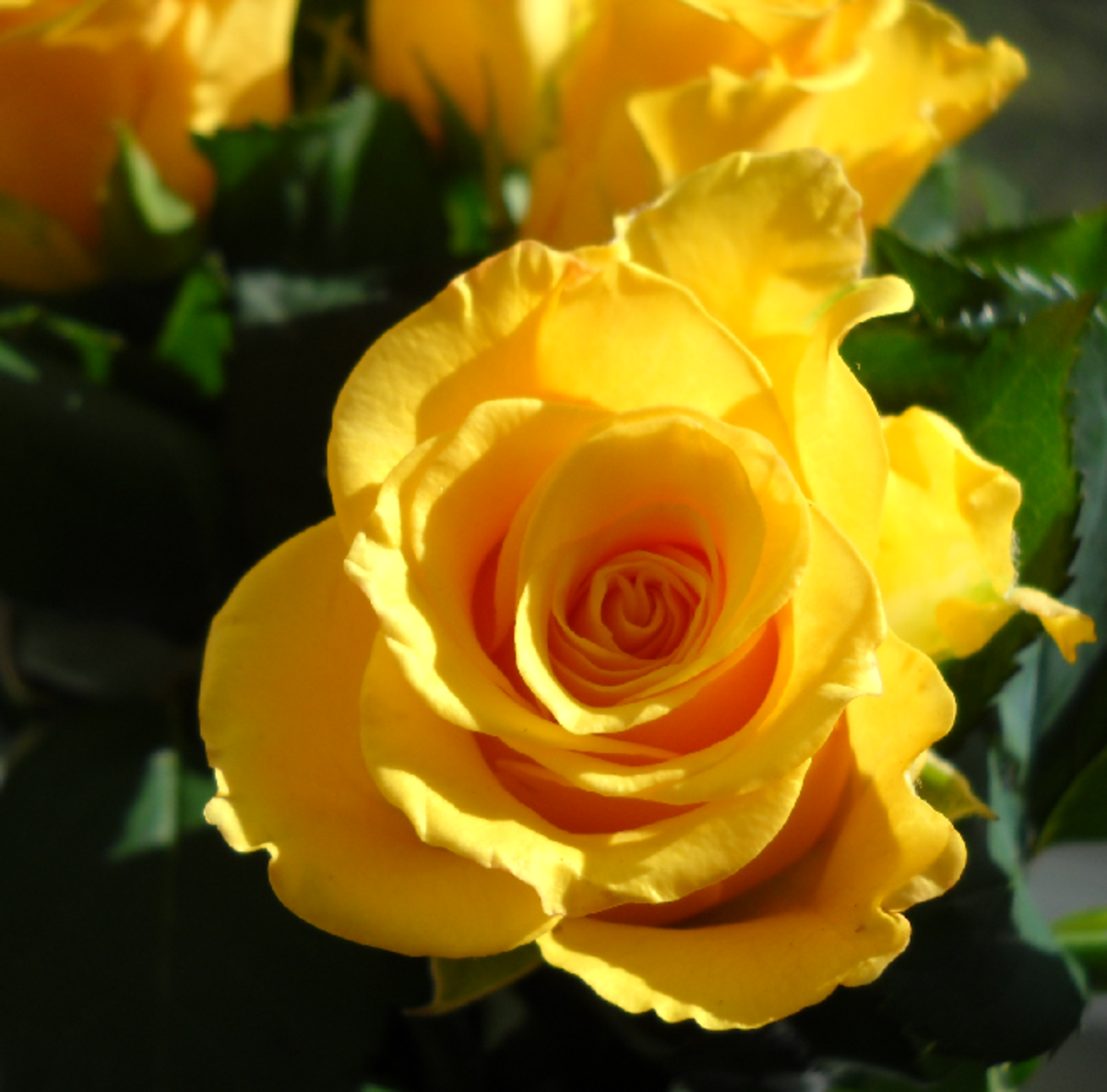 Yellow Rose in Sunshine Photo