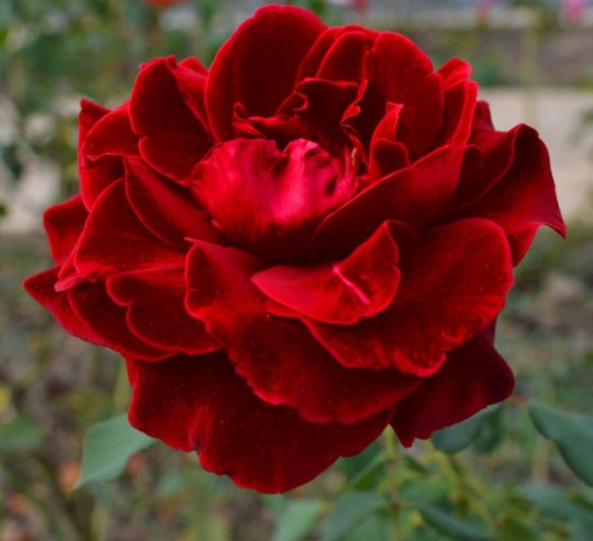 Red Velvet Rose Photo