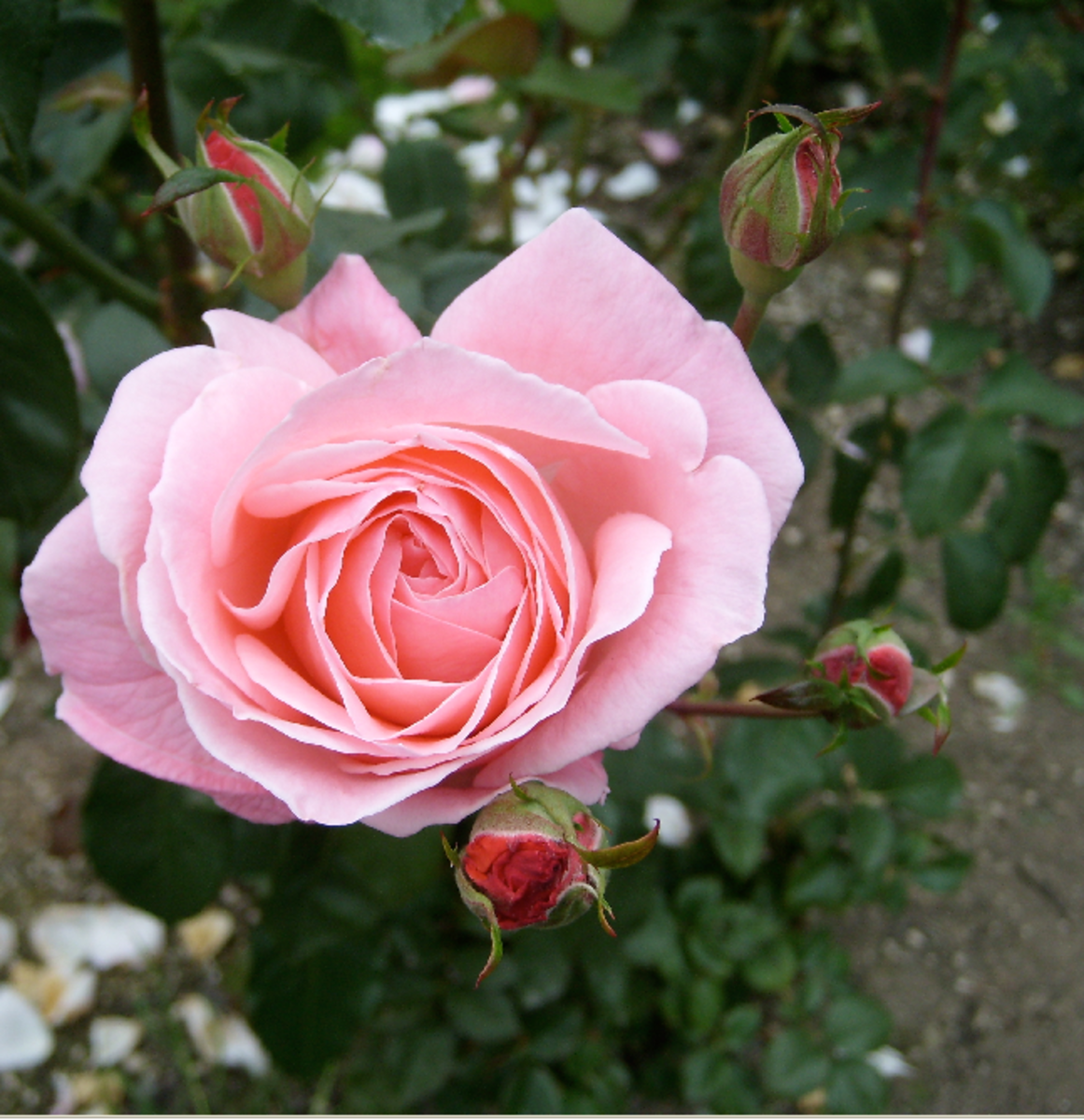 Perfect Pink Rose in Rose Bud Cluster Picture