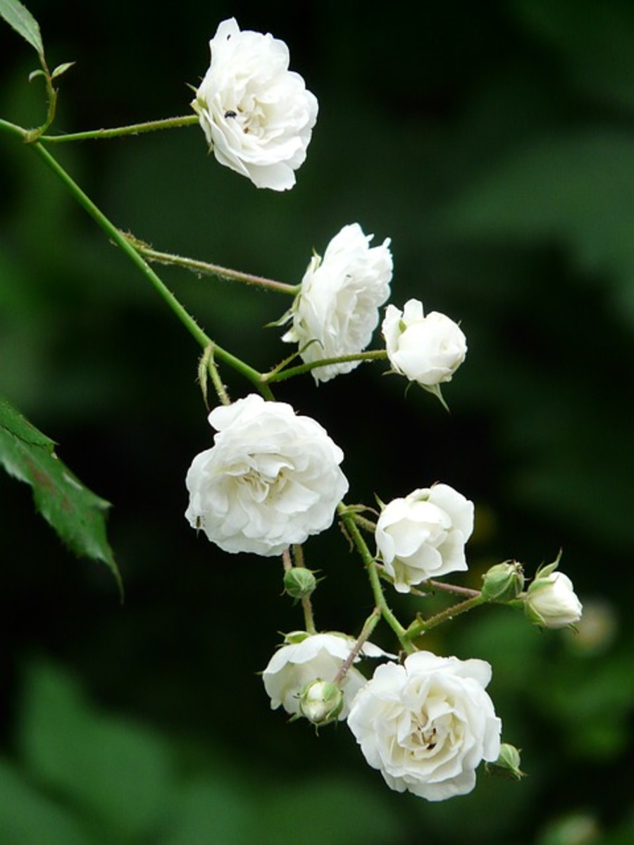 Branch of White Roses Picture