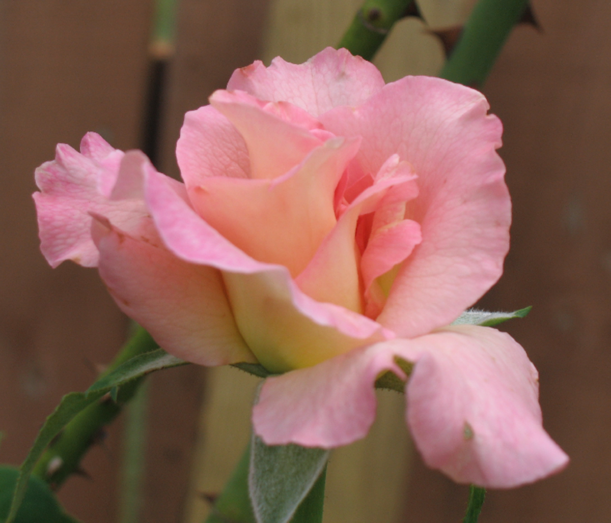Delicate Pink Rose Pic