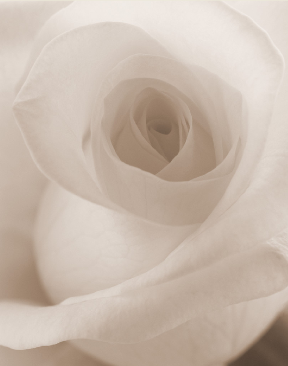 Pure White Rose Closeup Picture