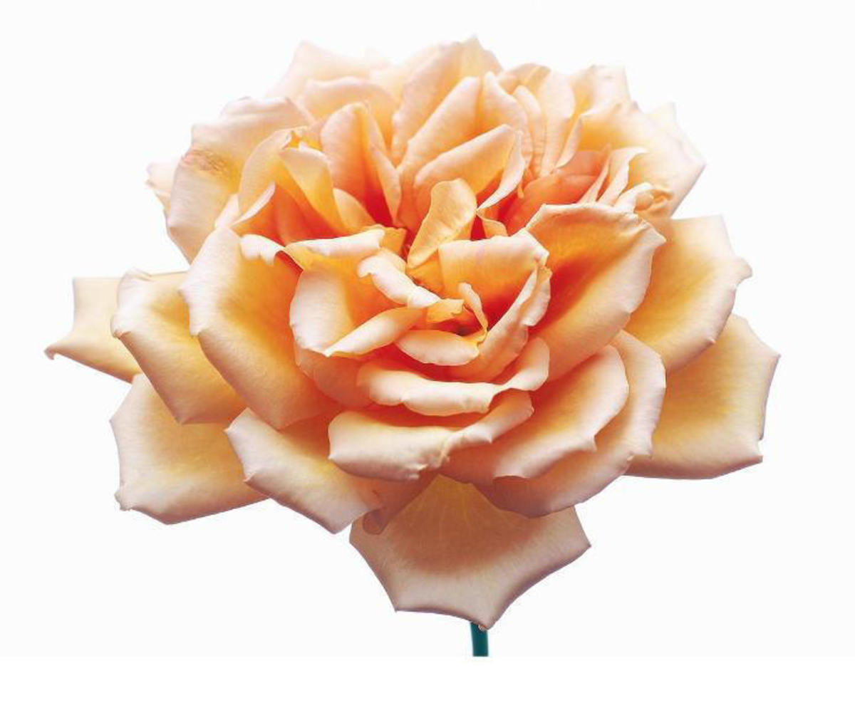 Peach Rose Image in Full Bloom