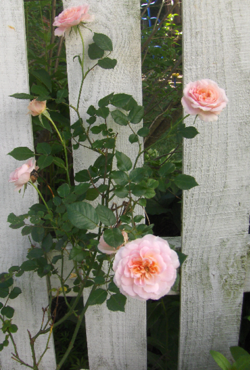 Pink Roses Photo of Rose Bush next to Fence