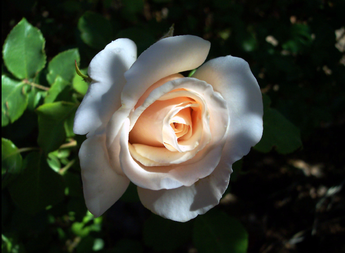 Peach Rose in Soft Light Image