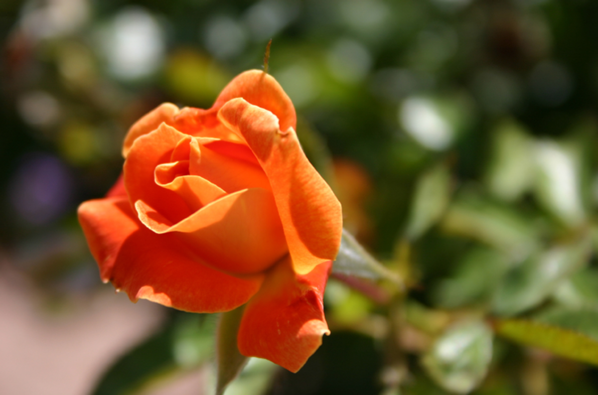 Pumpkin Color Orange Rose Image