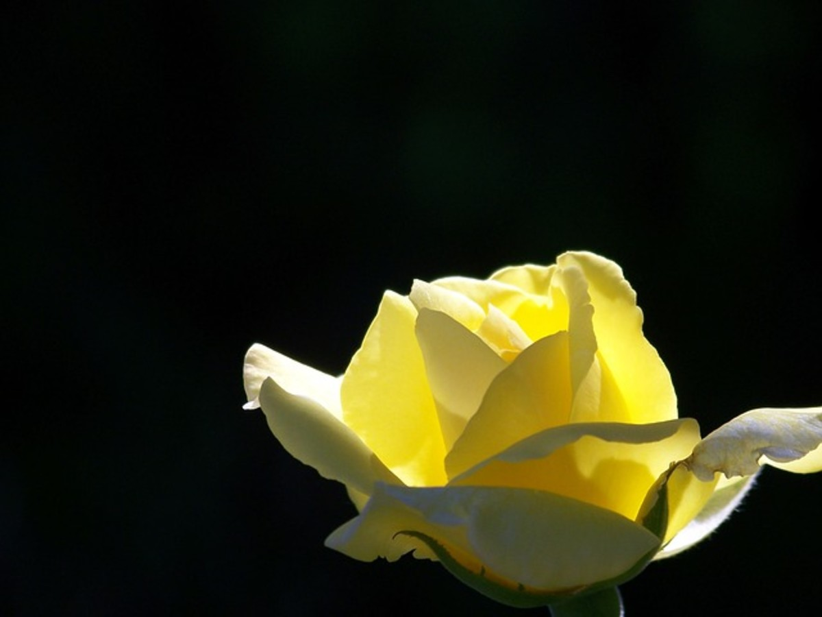 Yellow Rose with Black Background Photo