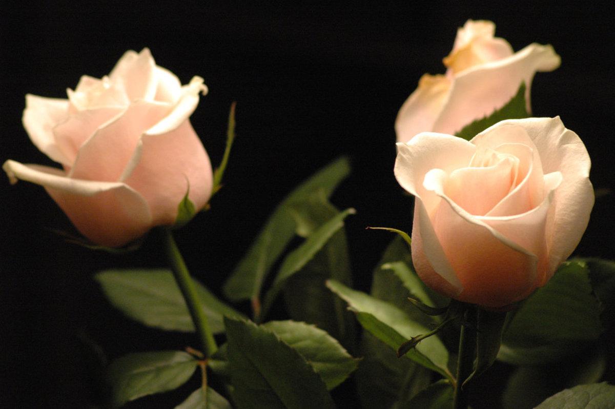 Peach Roses Picture