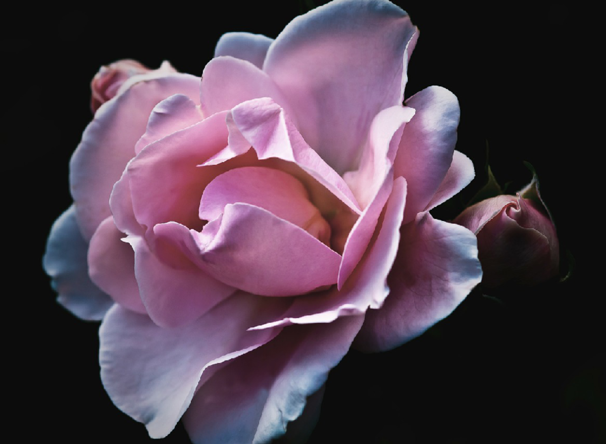 Blue-Tipped Purple Rose Picture