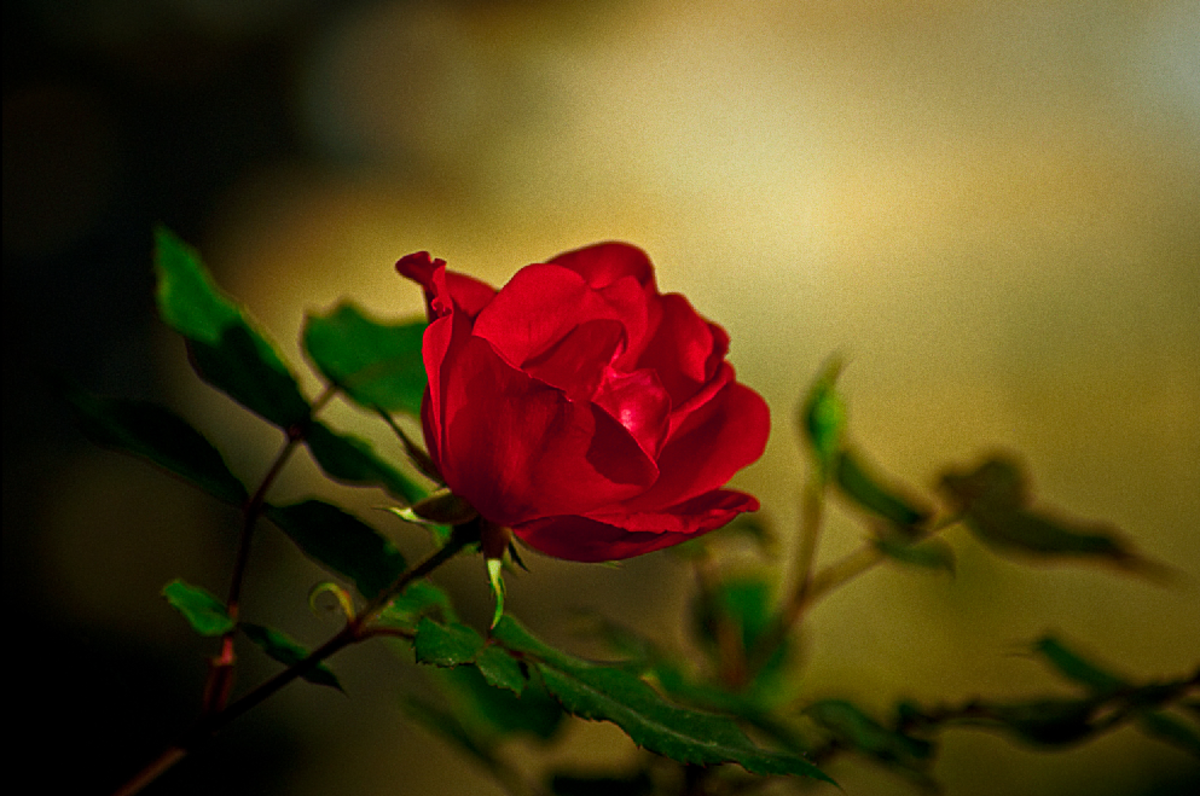 Red Rose Photo in Defused Light