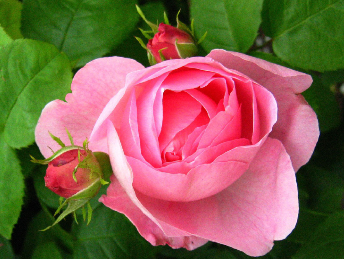 Pink Rose with 2 Rosebuds Picture