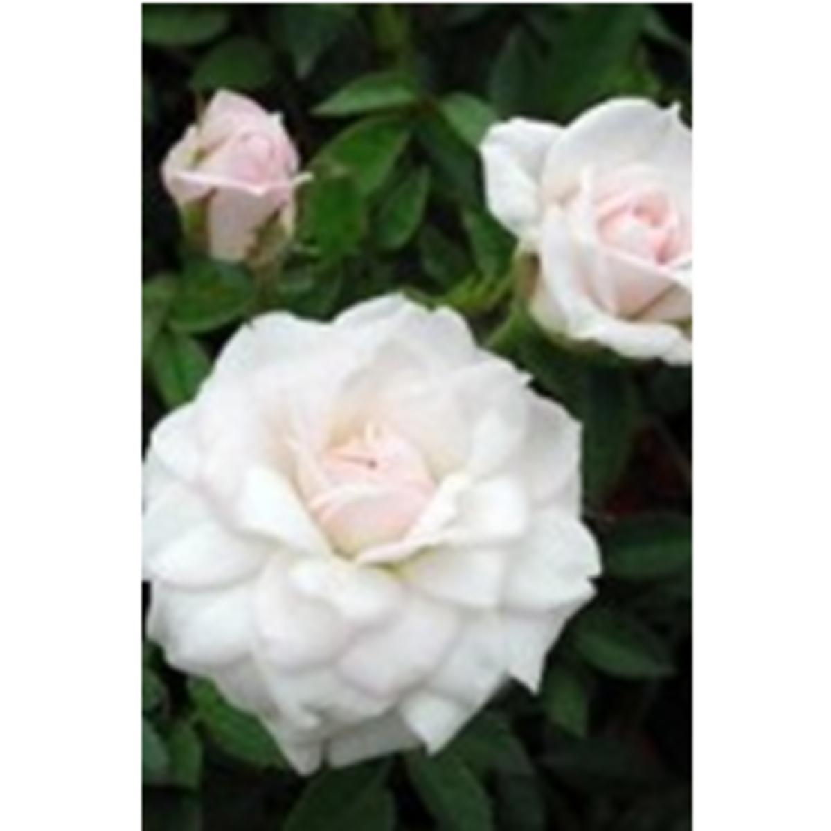 Miniature White Roses Photo