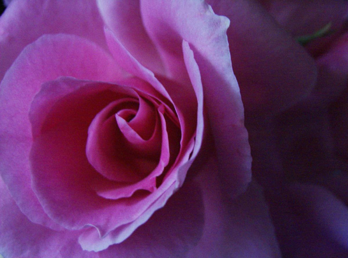 Purple Rose Closeup Picture
