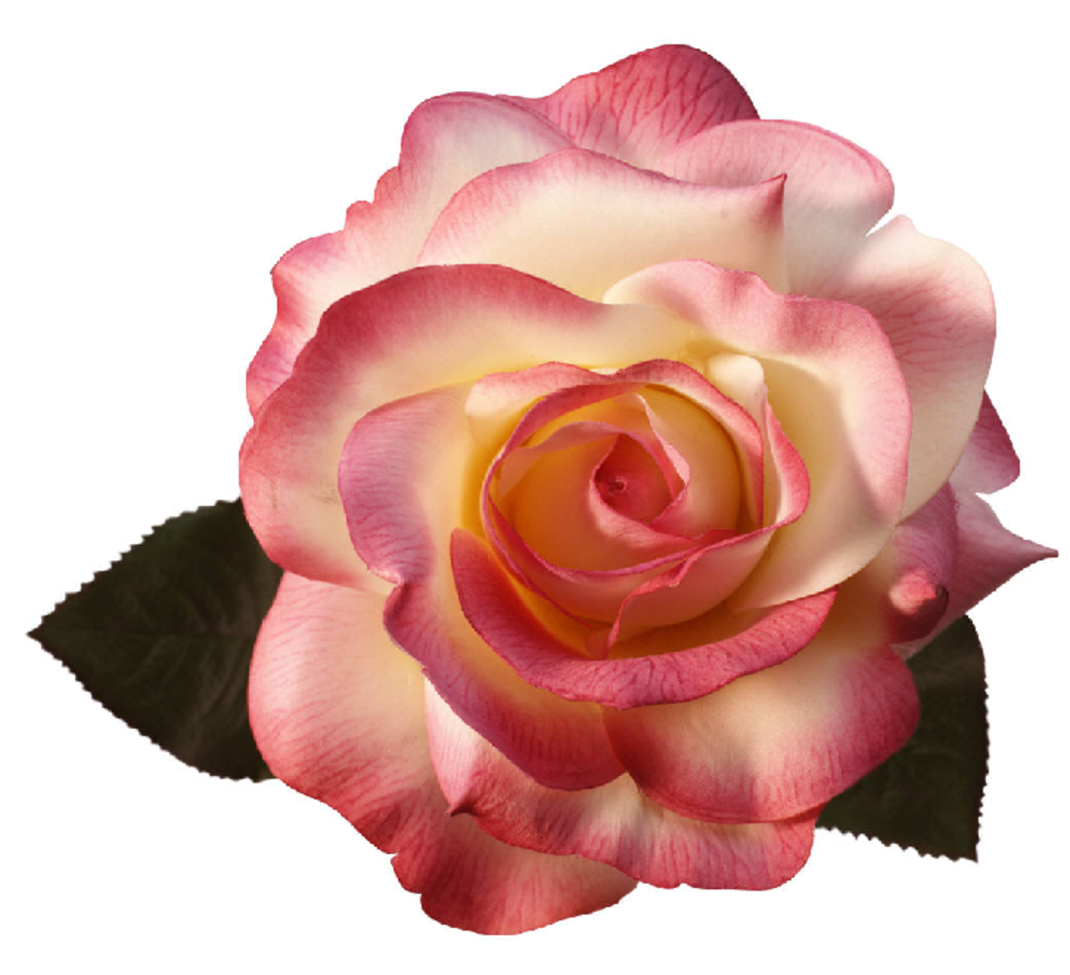 White and Pink Perfect Rose Image