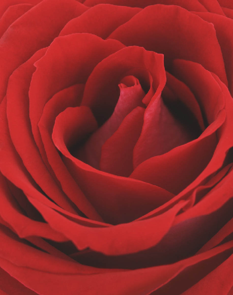 Close-up Red Rose Flower Picture