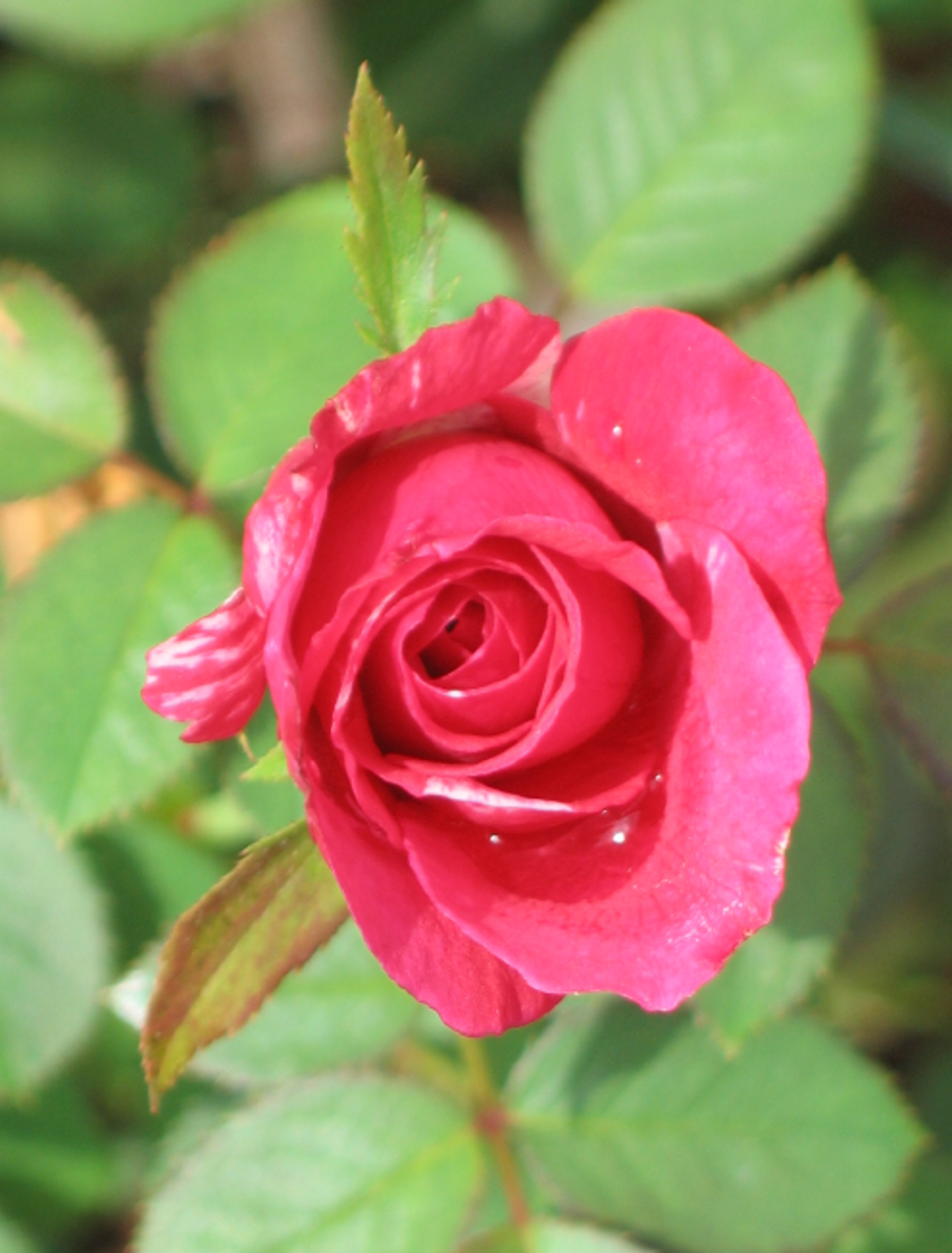 Red Rose Opening Photo