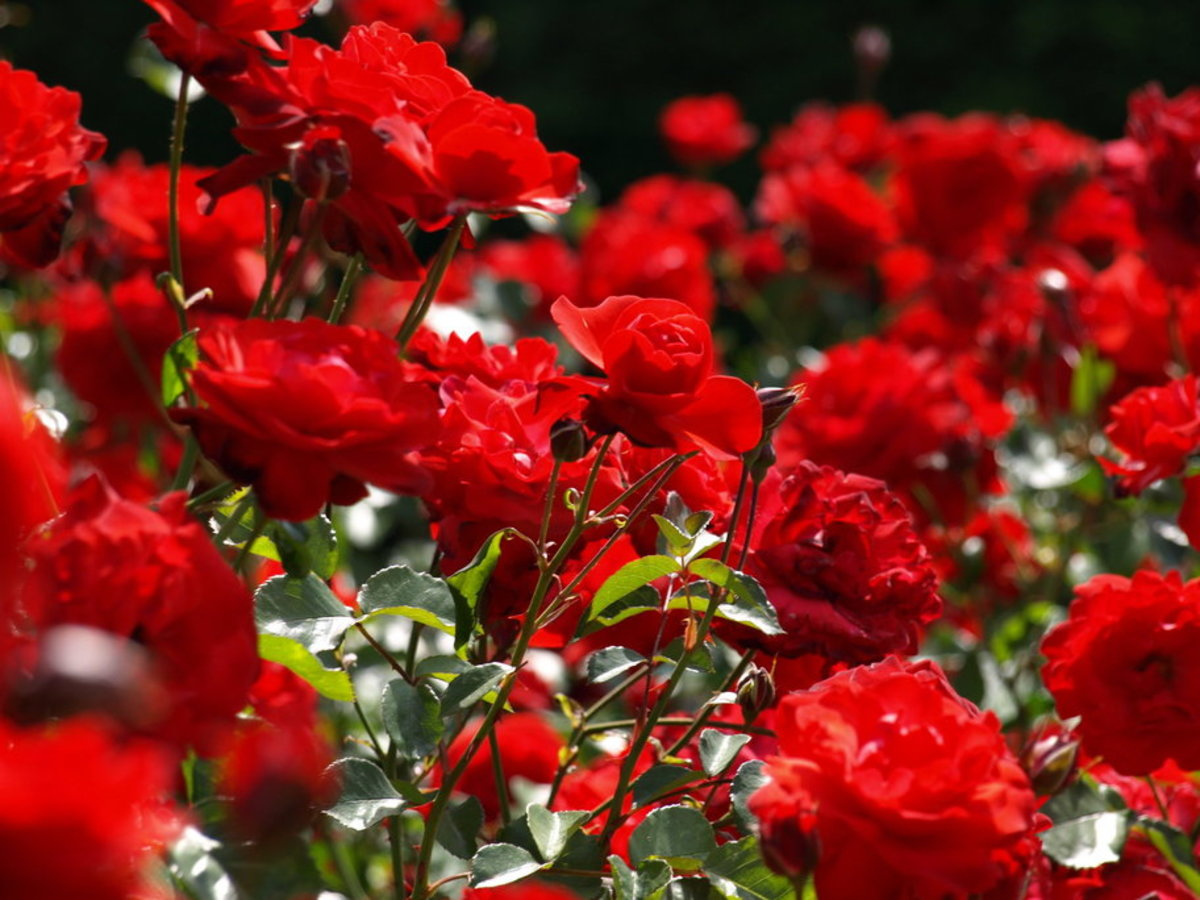 Picture of Deep Red Roses