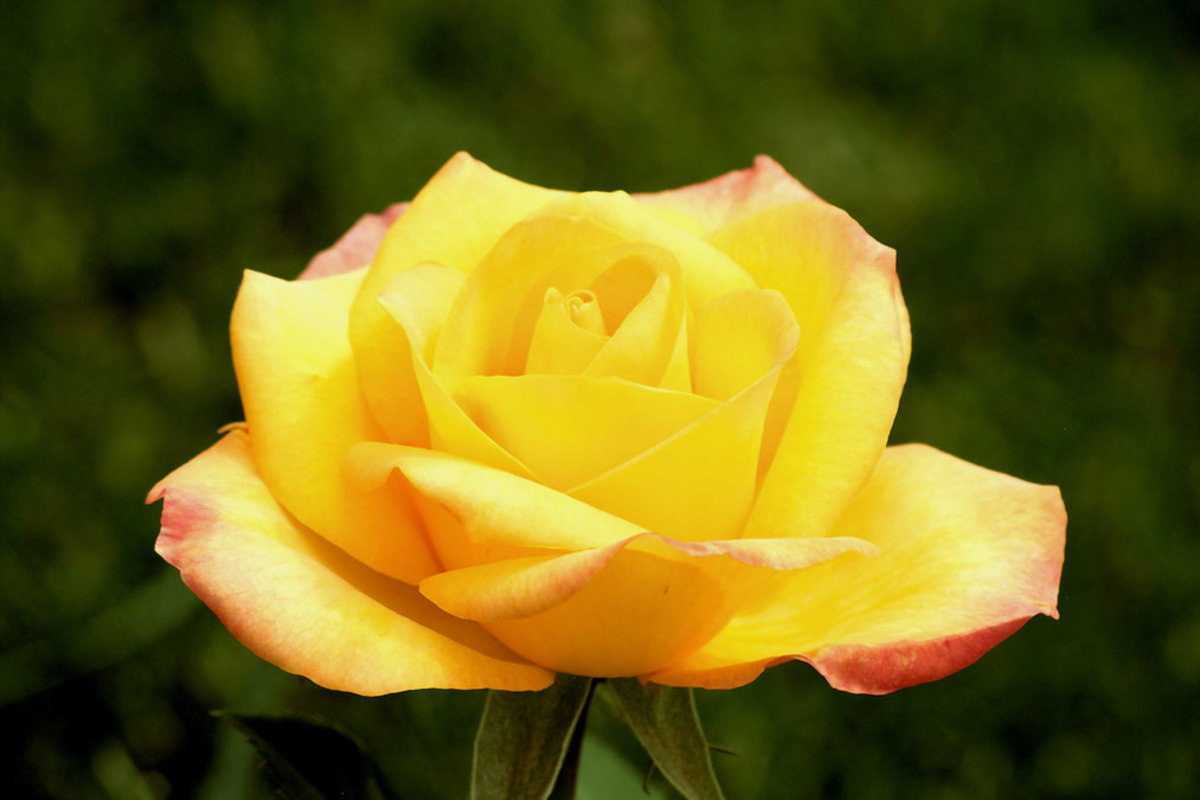 Yellow Rose with Pink Blush Picture