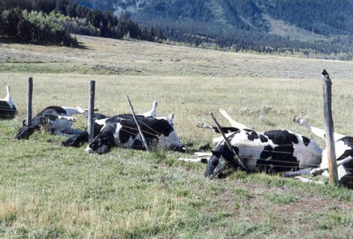 These cows were killed when lightning struck the metal wire fence that they were standing at.  How sad.