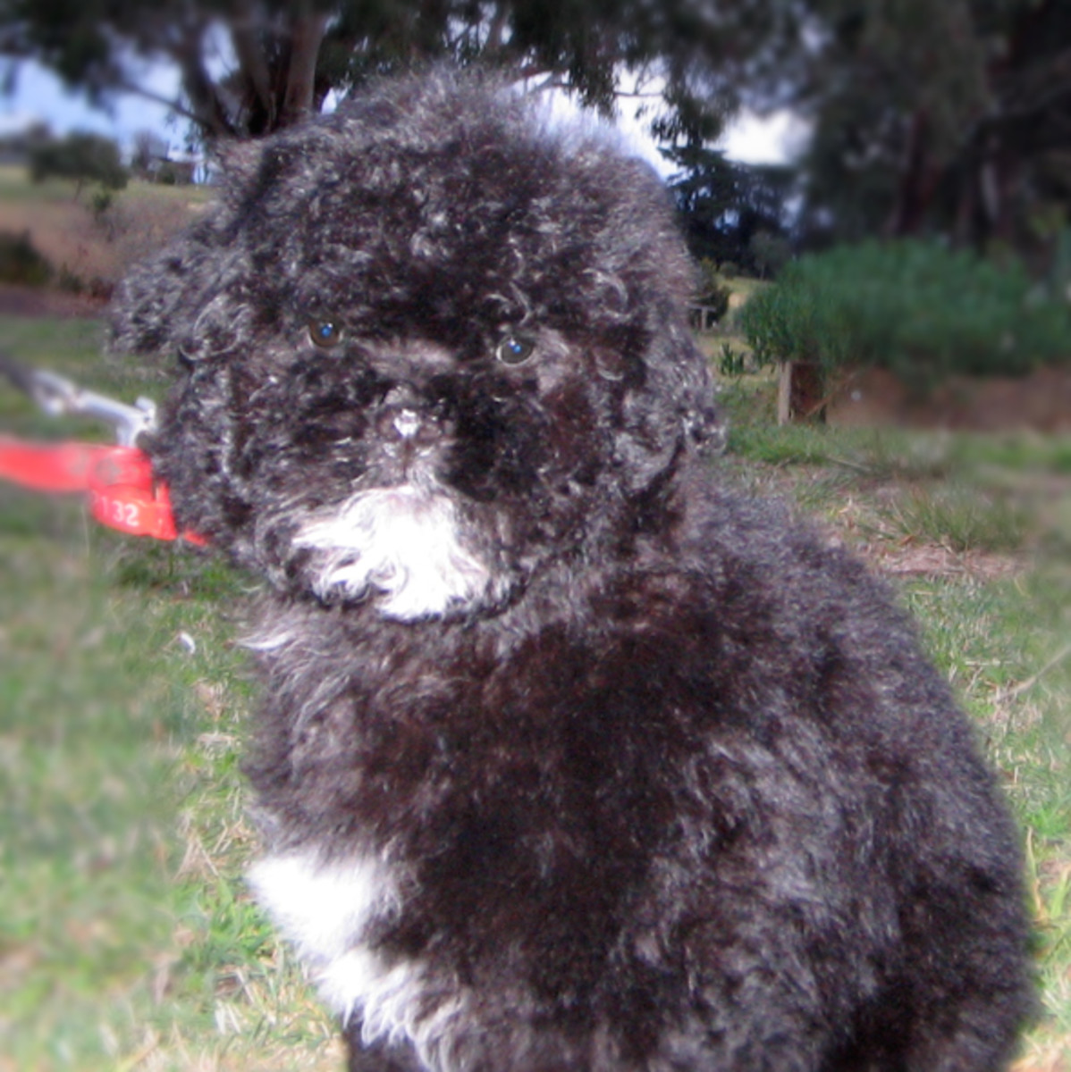 Look at me I'm Oliver and I'm a shihpoo. Now thats a cross shih-tzu, Toy poodle. Ain't I cute?