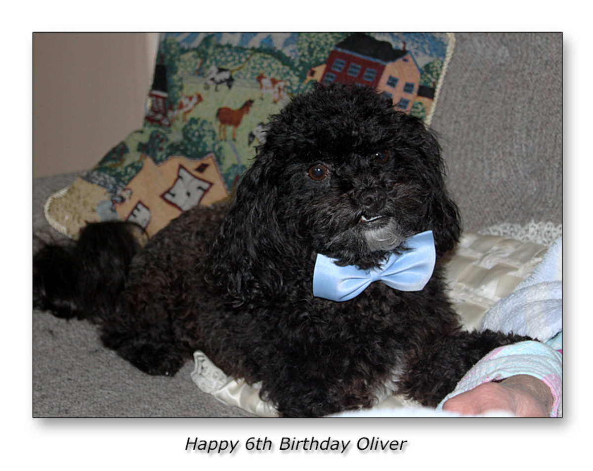"My name is Oliver and I'm a ""shih tzu - toy poodle puppy cross