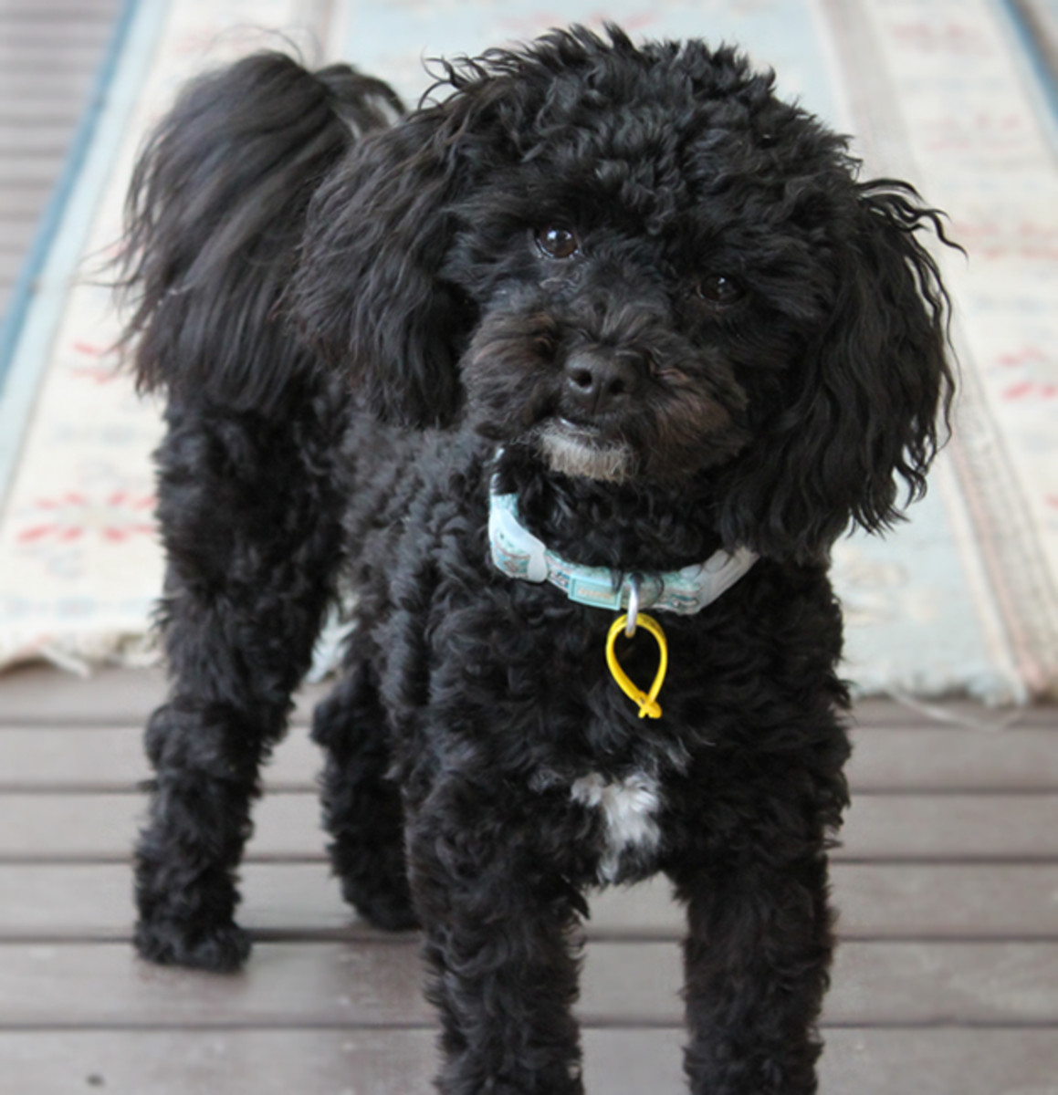 """I often hear my Mum and Dad say """"You are a naughty boy Oliver"""" and I think to myself """"hey I'm a Shihpoo isn't that what we do?"""""""