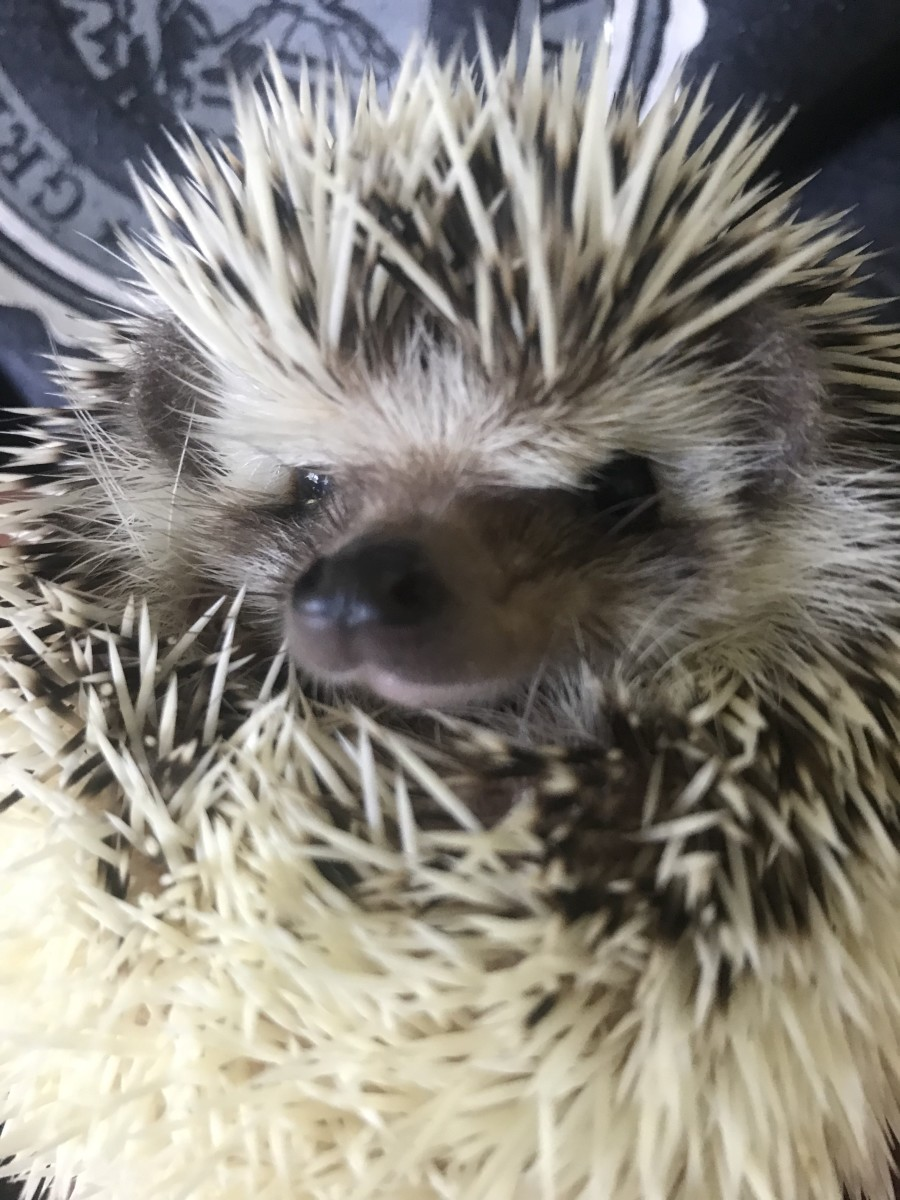 This is Camry a breeding female belonging to Nichole and Brittany Thomas at Huggley Hedgehogs. She is one of the babies produced here.