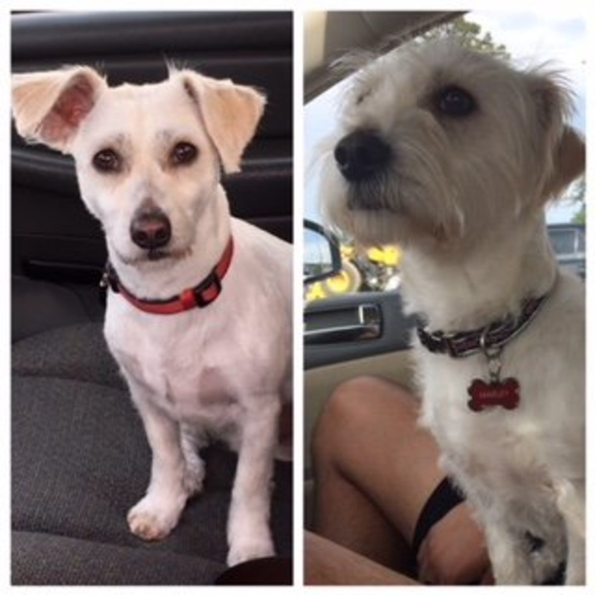 Short hair vs. long hair on our Jack Russell Westie Mix.