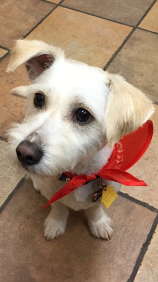 The Joys and the Terriers: Raising a Jack Russell Westie Mix