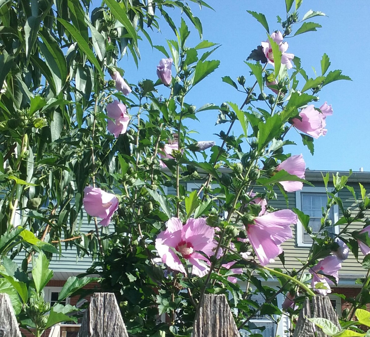 The Rose of Sharon is a very fast grower. It can be pruned to look like a bush or like a tree.