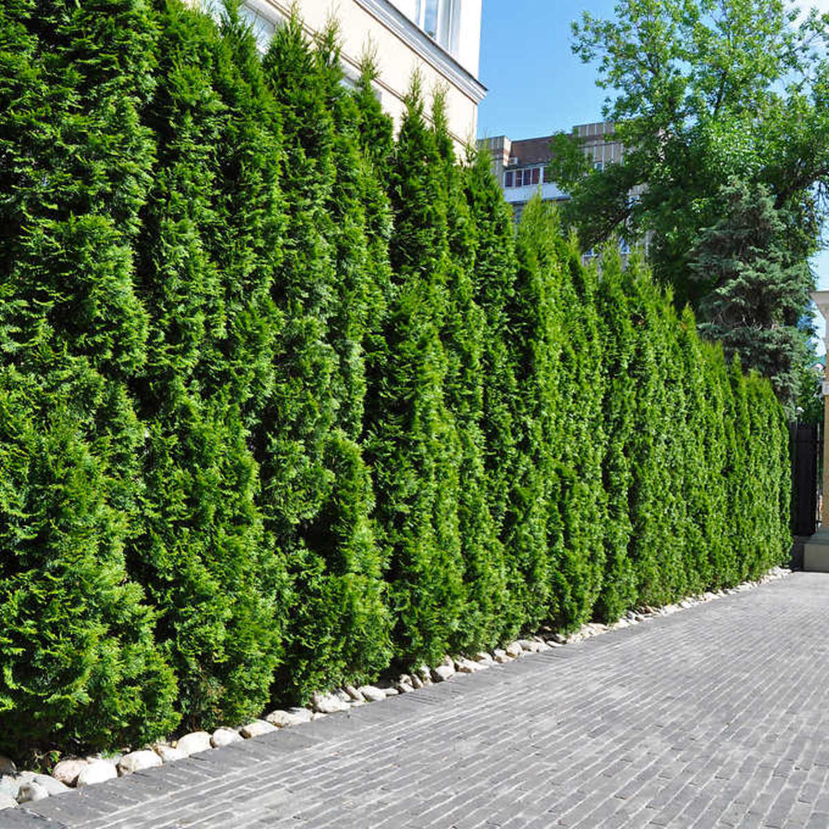 A straight and stately line of evergreen arborvitae bushes mark the property border and guard privacy..