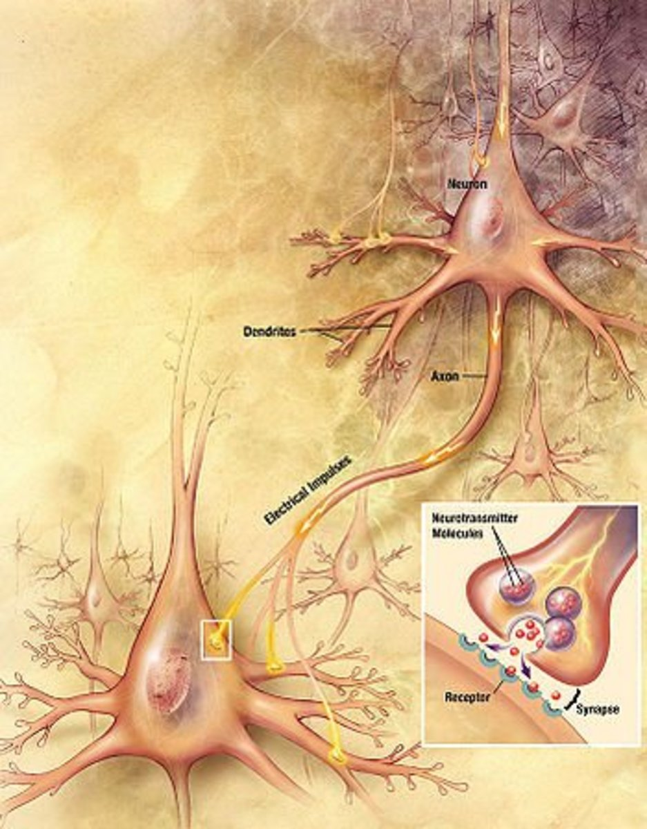 Glutamate and aspartate are released by A-delta fibers and somatostatin and substance P are released by C-fibers in the synapses of the spinal cord. Which are thought to enhance transmission of the pain signal.