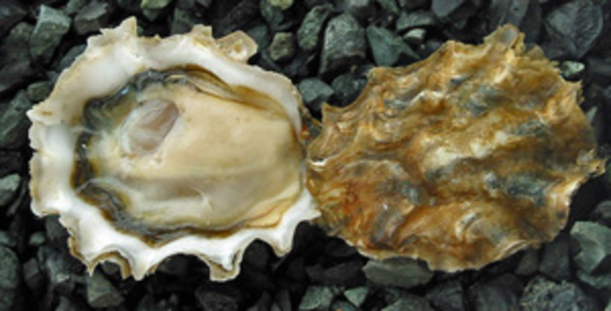 An Opened Oyster