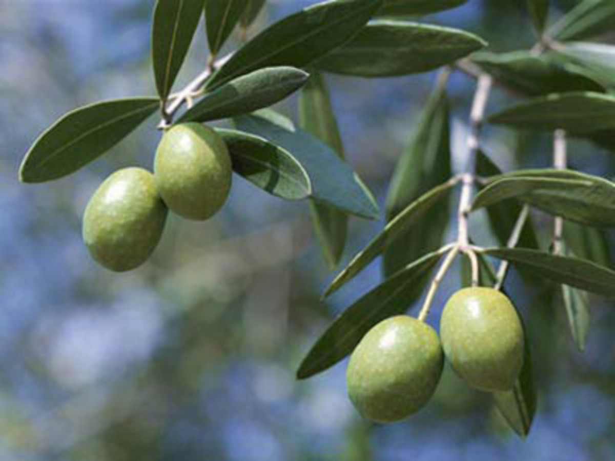 Olive leaves can flex just as much health muscle as the fruits.