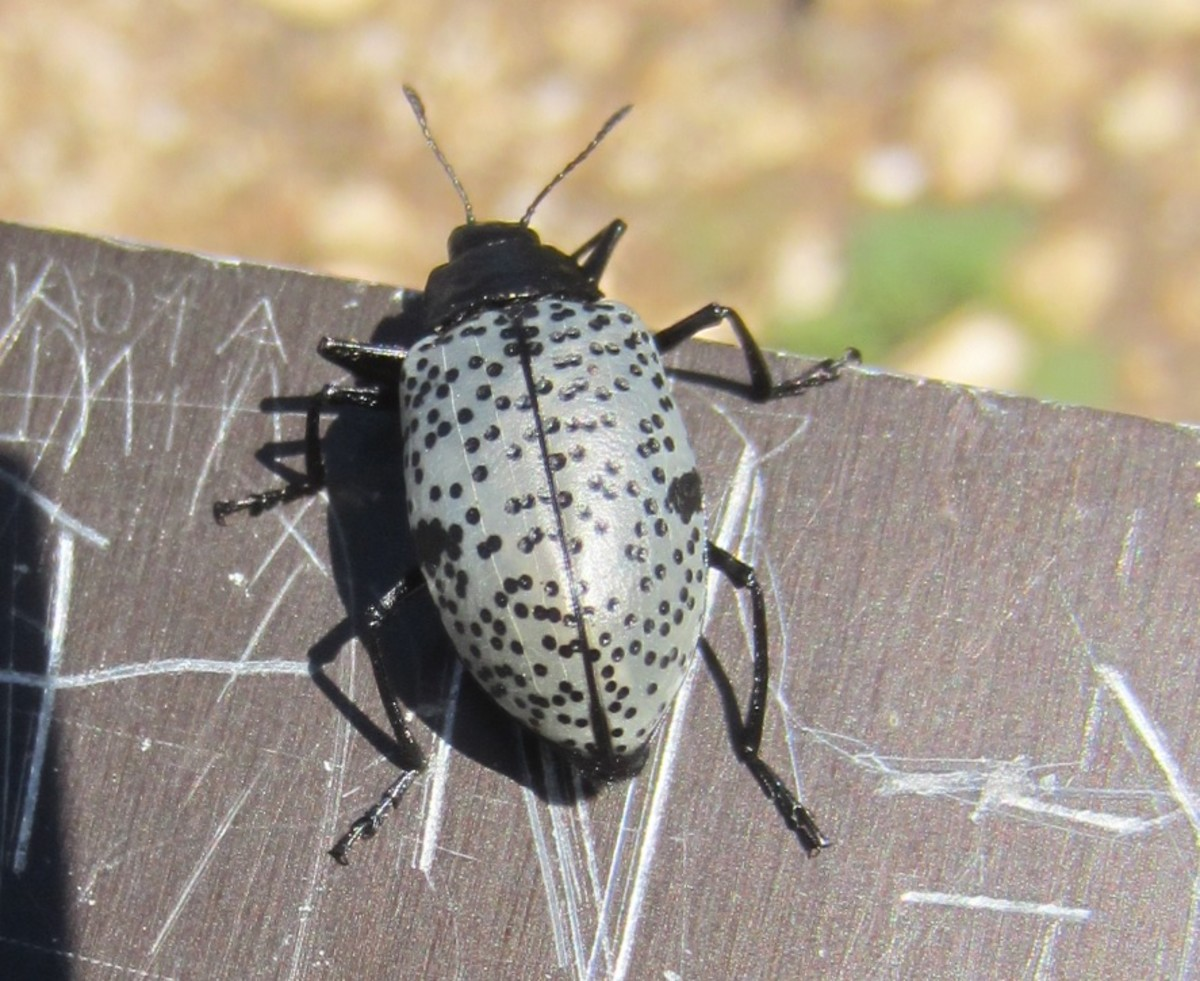 Pleasing Fungus Beetle (Gibbifer californicus) photographed on Mt Lemon Hiking Trail in Arizona