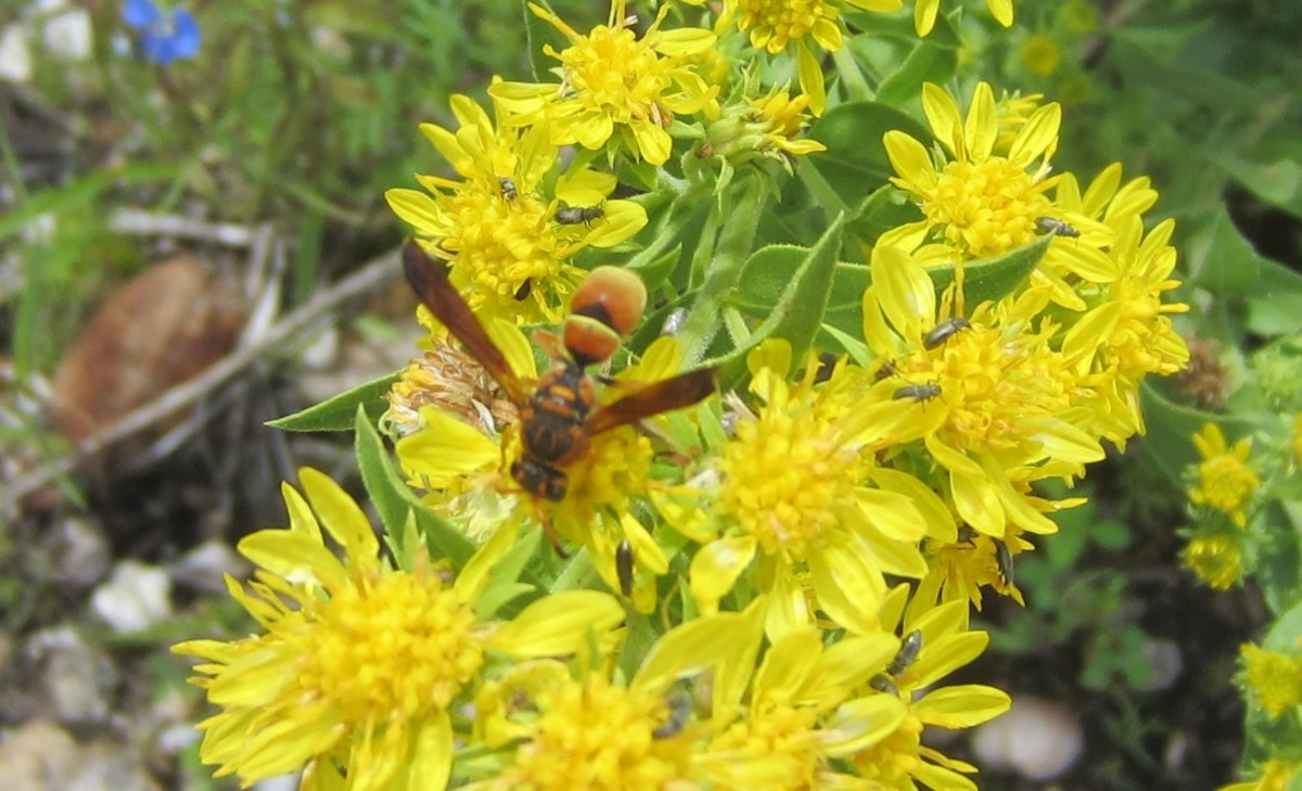 Wasp on Wildflowers - photo taken in Santa Catalina Mountains of Southern AZ