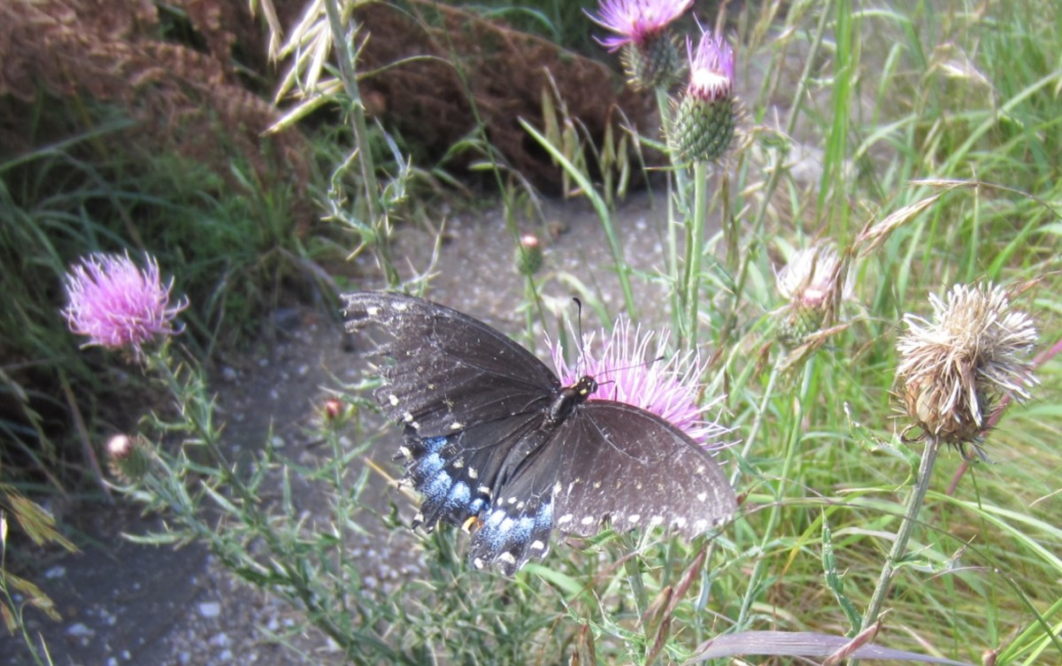 Pipevine Swallowtail (Battus philenor) Butterfly on Thistle in Santa Catalina Mts of Arizona