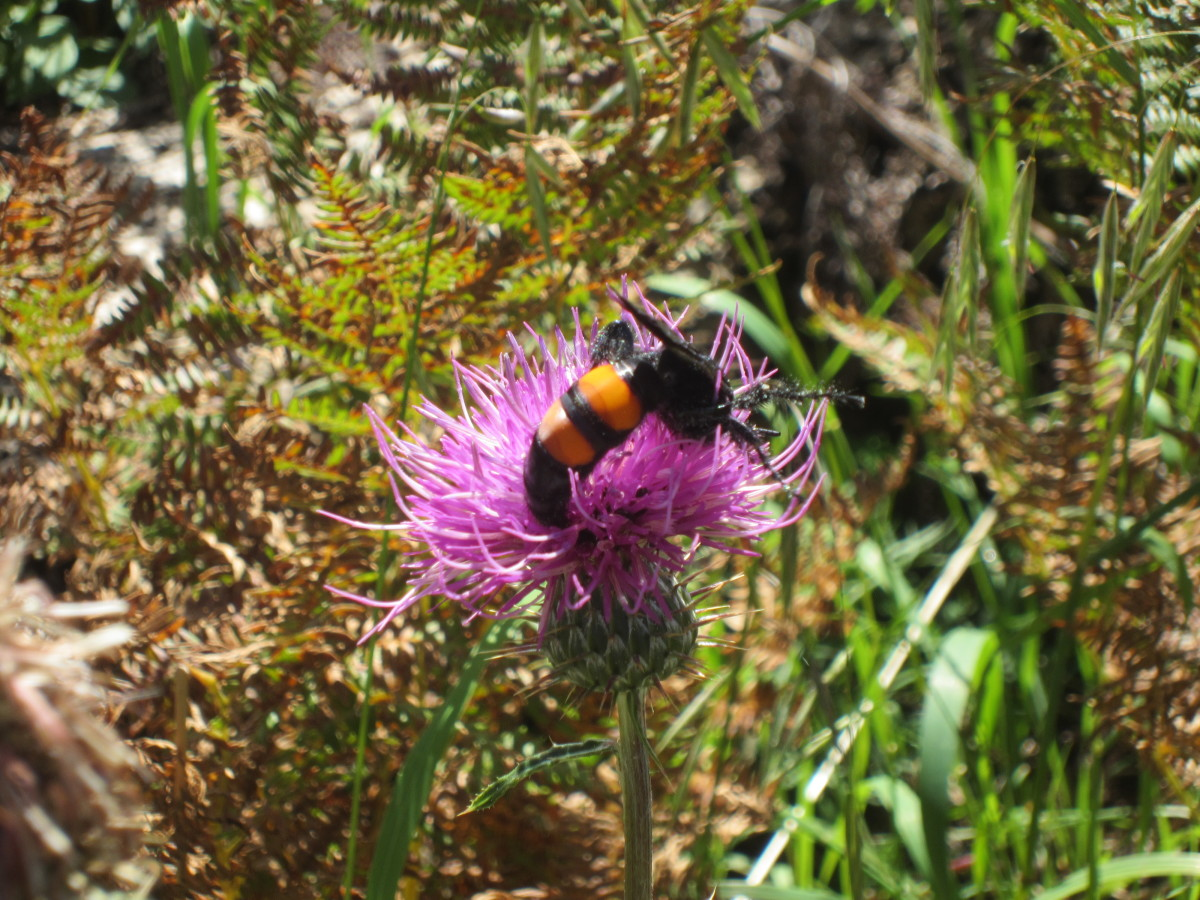 A Flower Wasp (Campsomeris Ephippium) dining on a Thistle's nectar  (Photo taken on Mt. Lemon, AZ)