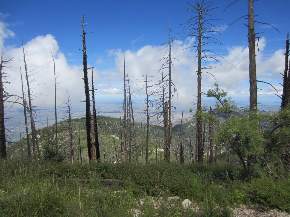 Blackened Tree Trunks from forest fire a few years ago.  Mt Lemon Hiking Trail, Santa Catalina Mts, Arizona