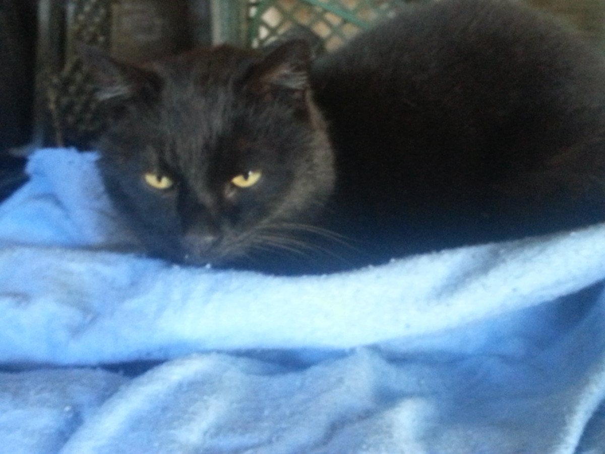 Our outdoor cat, Midnight, comfortably warm on top of his heating blanket -- even though it's cold -- really cold -- outside.
