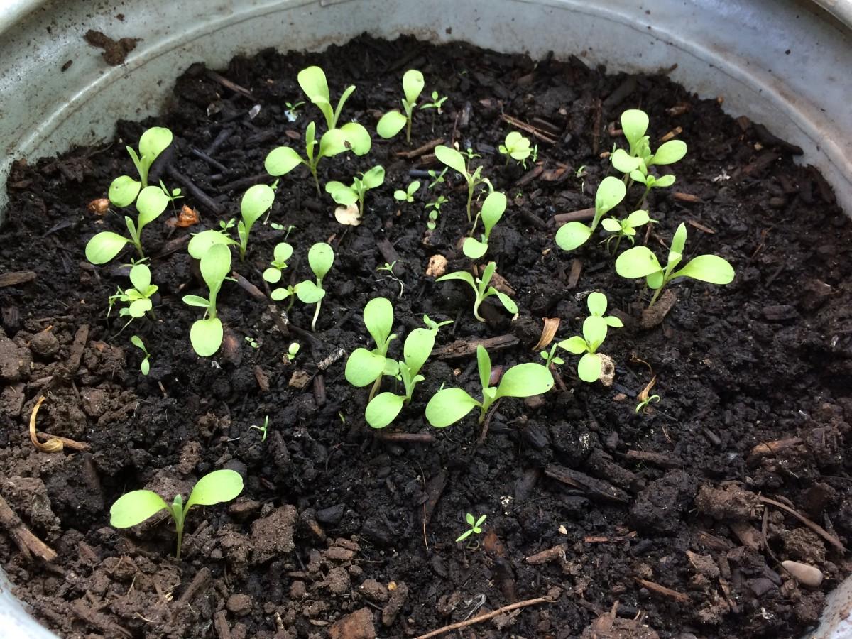 Much Larger Seedlings (June 1)