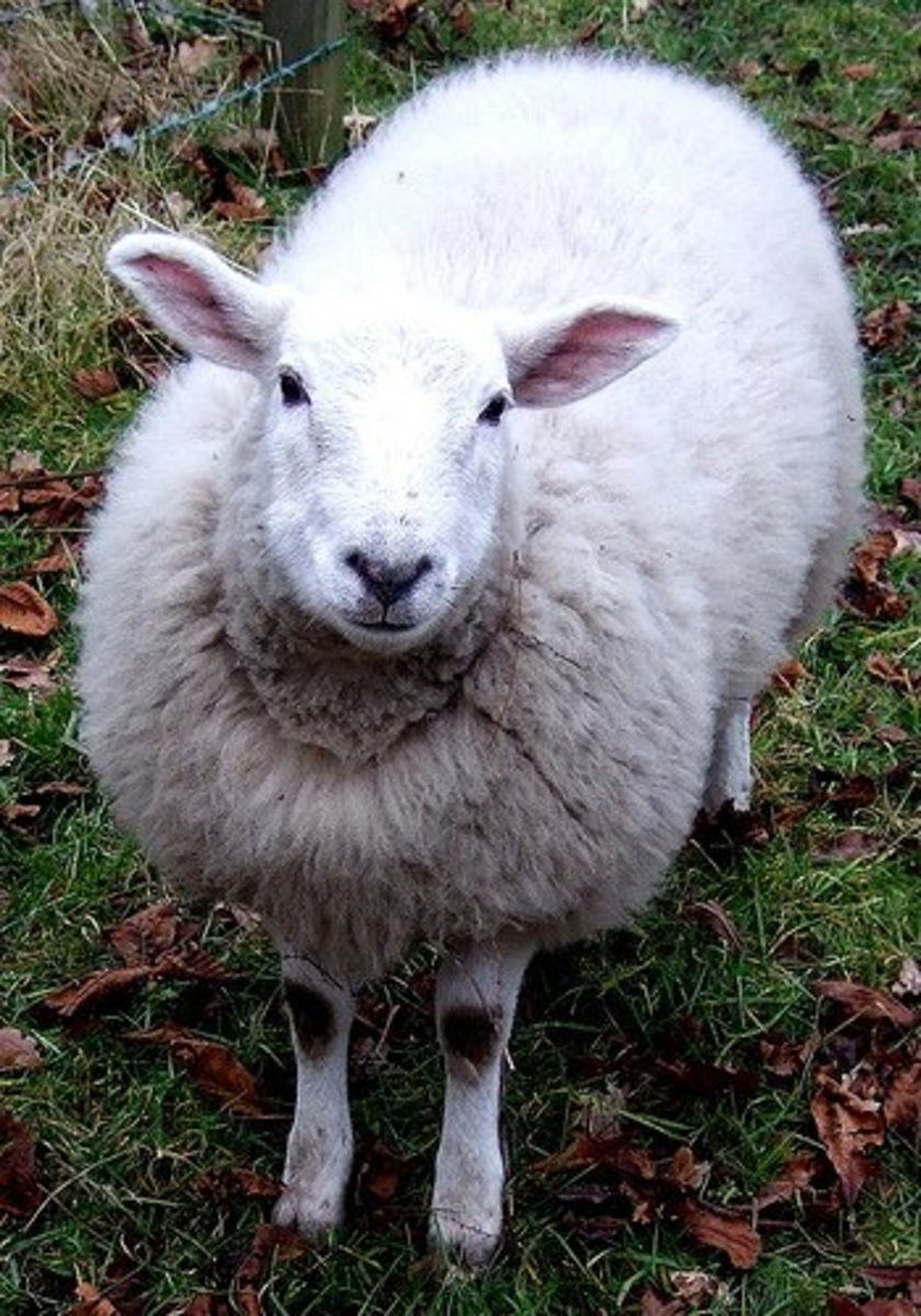 White Sheep  David Master Flickr photo
