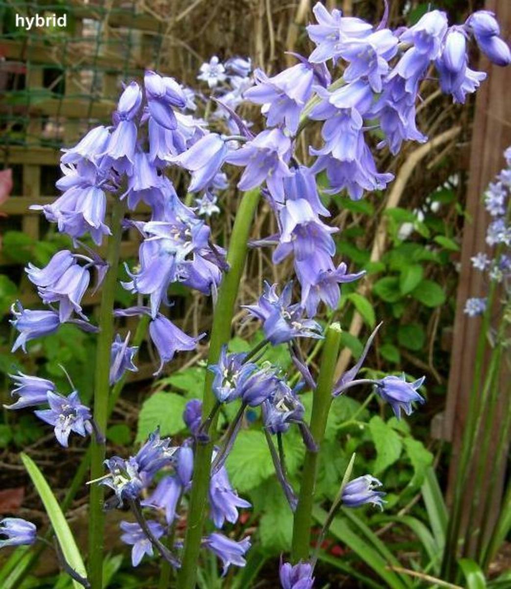 How To Grow English Bluebells From Seed Hubpages