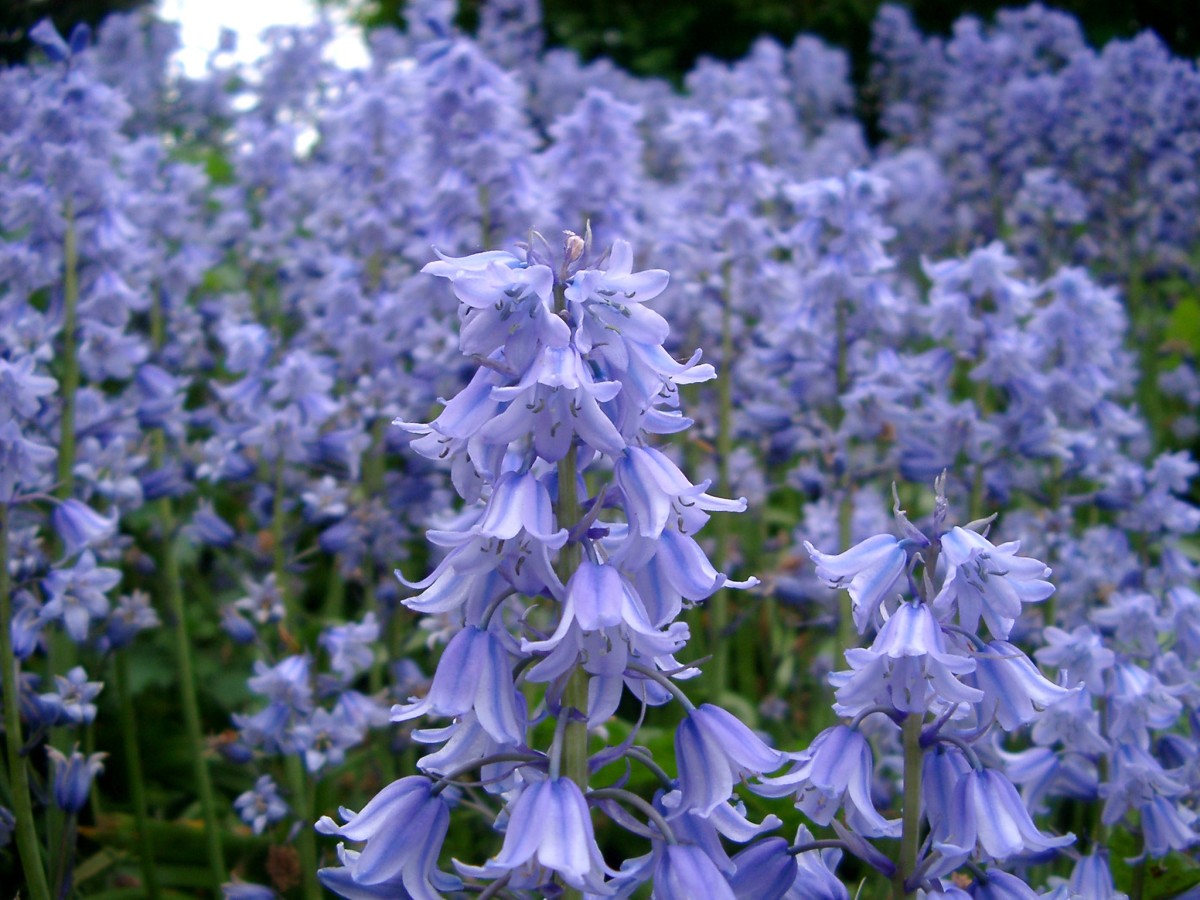 growing-english-bluebells-from-seed