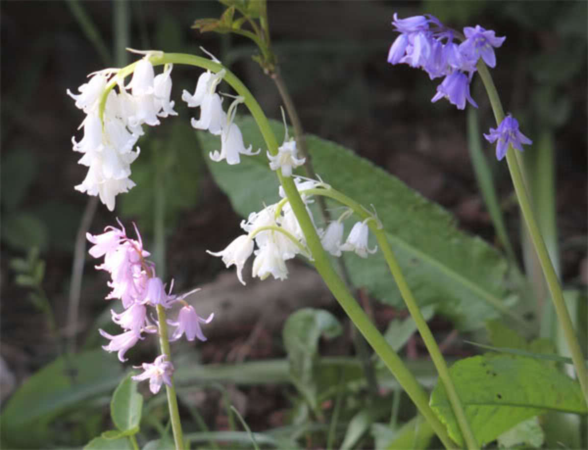 How To Grow English Bluebells From Seed