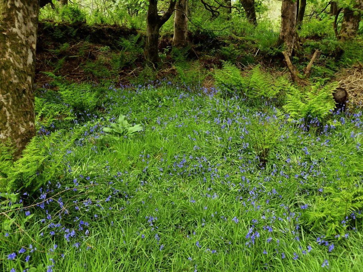 bluebell grove