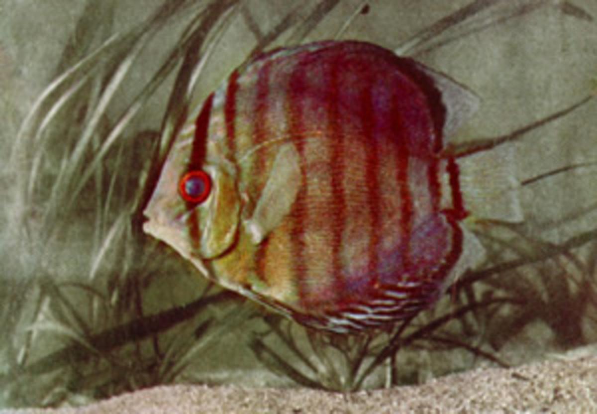 Brown Discus Fish