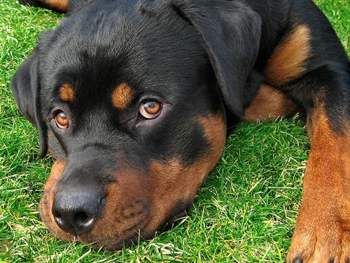 Is a Rottweiler the Best Dog for Me?