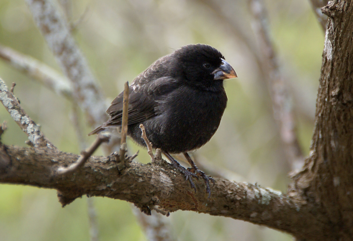 Geospiza fortis, a seed eating finch. This species has been seen to evolve in real time. Beak size has increased 10% due to a soft-seed shortage in the Galapagos
