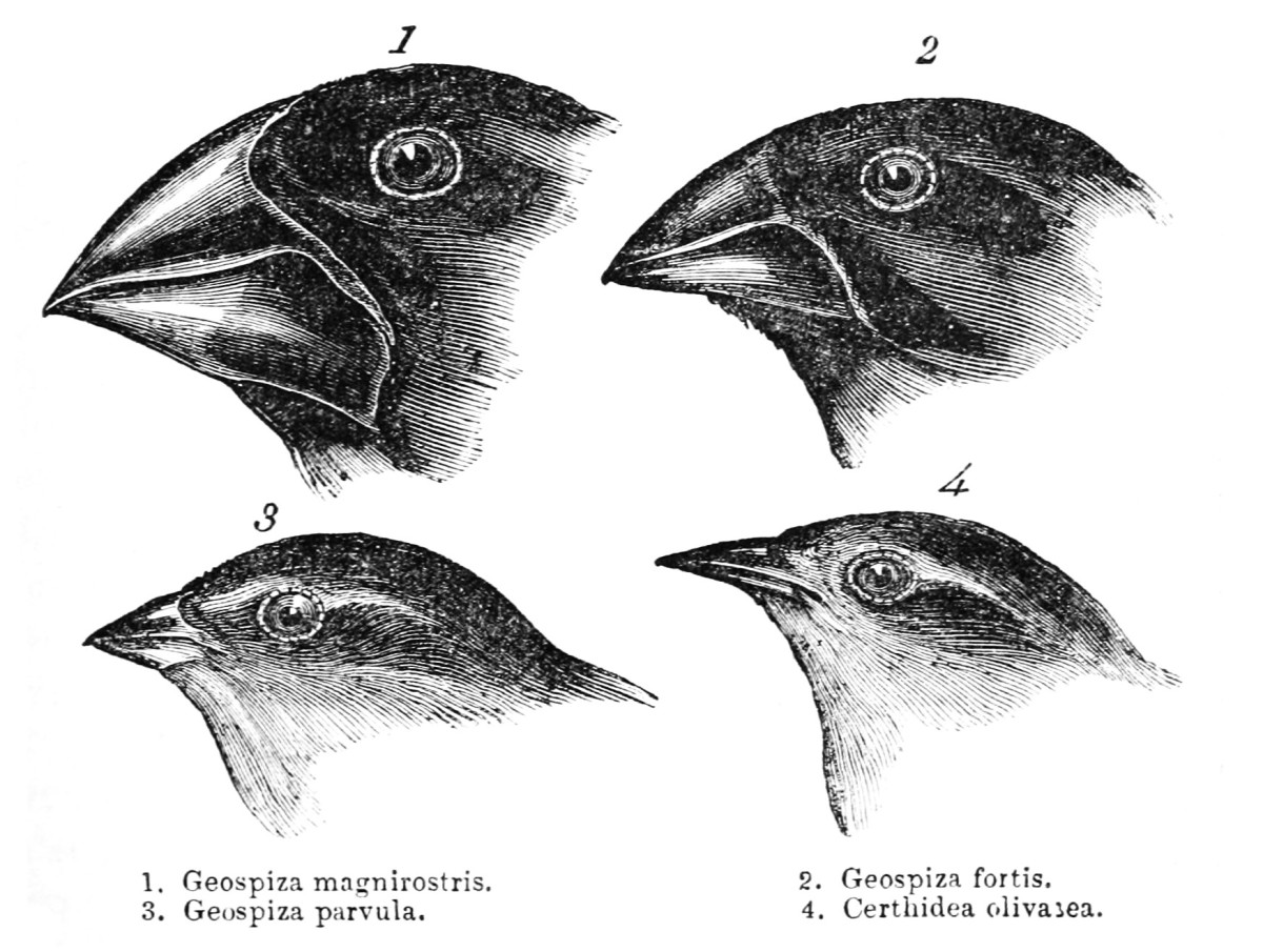 Darwin's original sketches, as documented in 'Journal of Researches into the Natural History and Geology...' These different species of finch all evolved from a single ancestral species stranded on the Galapagos.
